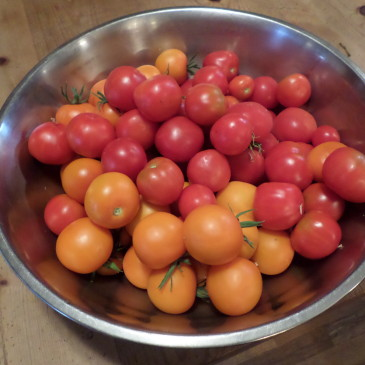 Tomatoes Compliments of the Library!
