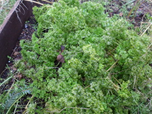 Parsley in January