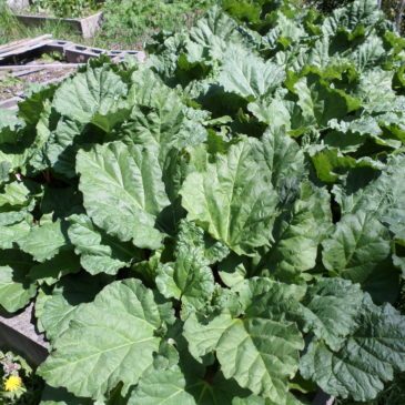 Rhubarb – Prolific this year!  Recipes Galore!